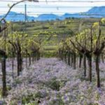 La Regione Campania approva il progetto 'Castelvenere, Città di Vite'
