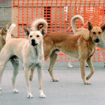 Solopaca. Randagismo, allarmismo infondato ma priorità. Sicurezza Cittadini e tutela degli animali.