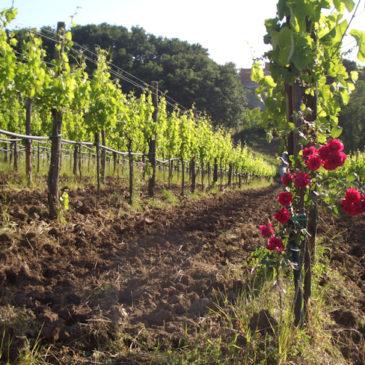 Vendemmia dell'uva camaiola, a Castelvenere arriva una delegazione maltese