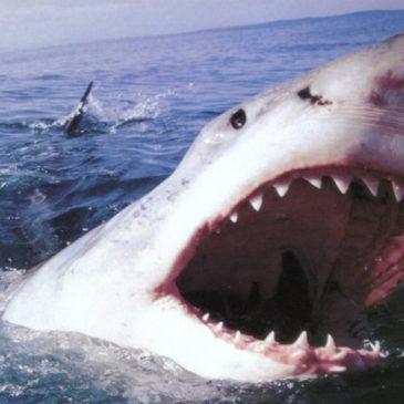 Turista divorato da uno squalo tigre