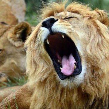 Tre bracconieri sbranati da alcuni leoni in una riserva africana