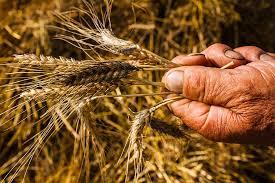 Sementia, la kermesse di Slow Food Campania dedicata alla diffusione della conoscenza dei grani antichi.