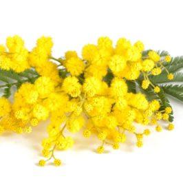 Perché l'8 marzo alle donne si regalano le mimose?