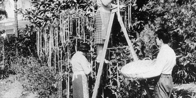 Accadde oggi: 1 aprile 1957, scoperto l'albero da cui nascono spaghetti