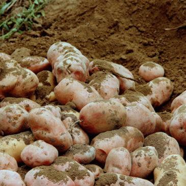 Immagini dal Sannio: la patata interrata e i marmi rossi del Taburno