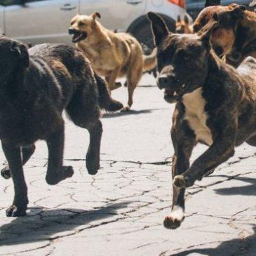 Anziano caudino aggredito da due branchi di cani selvaggi