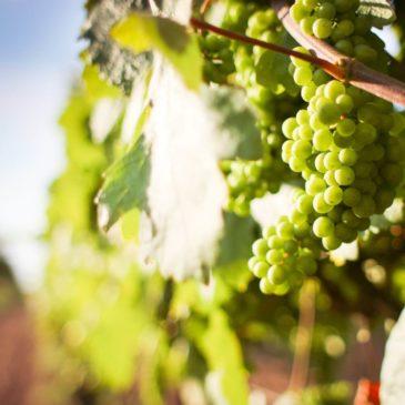 La Falanghina del Sannio nella carta dei vini dei papi