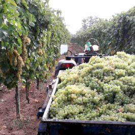 """Fiorenza Ceniccola: """"A proposito di aiuti al comparto vitivinicolo"""""""