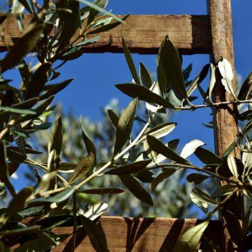 Domenica delle Palme: perché ci si scambiano i ramoscelli di ulivo benedetti?