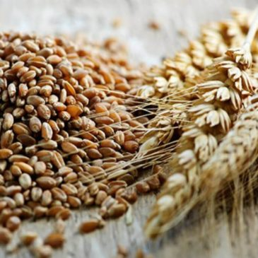 Immagini dal Sannio: la saragolla, l'antico grano duro giallo come l'oro