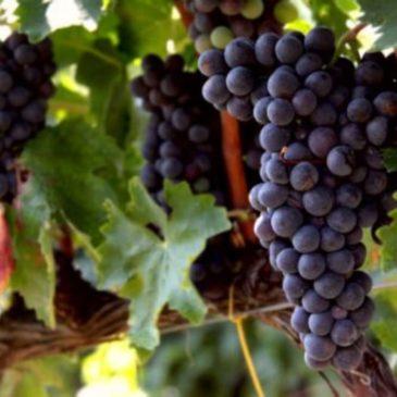 Immagini dal Sannio: il Tintilia, vitigno autoctono molisano a bacca nera